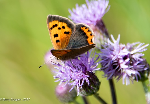 Small Copper butterfly (7)