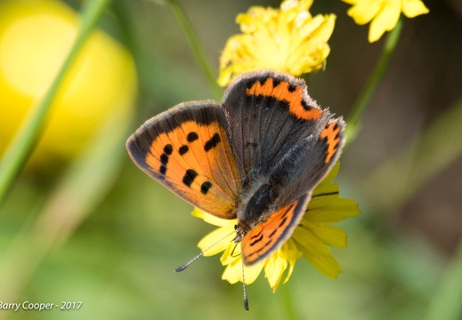 Small Copper butterfly (6)