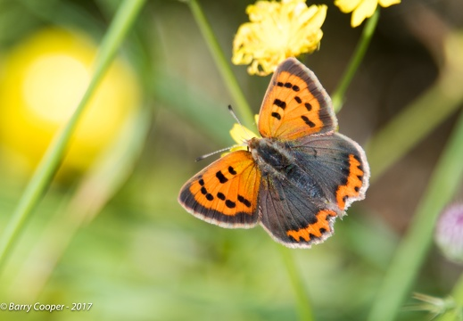 Small Copper butterfly (5)
