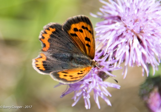 Small Copper butterfly (4)