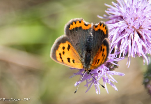 Small Copper butterfly (3)