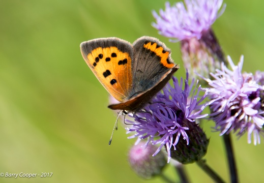 Small Copper butterfly (2)