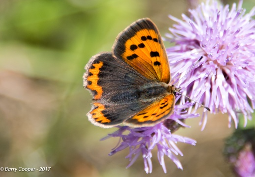 Small Copper butterfly (1)